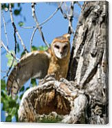 Barn Owl Owlet Stretches Acrylic Print