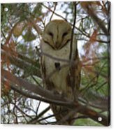 Barn Owl Sleeping Acrylic Print
