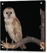 Barn Owl Tyto Alba Acrylic Print
