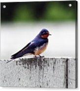 Barn Swallow At Fort Larned Acrylic Print
