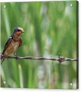 Barn Swallow Acrylic Print