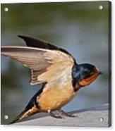 Barn Swallow Acrylic Print by Byron Varvarigos