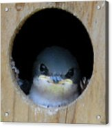 Barn Swallow Chick Acrylic Print by DigiArt Diaries by Vicky B Fuller
