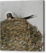Barn Swallow Hirundo Rustica Acrylic Print by Douglas Barnett