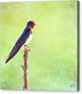 Barn Swallow, Hirundo Rustica Acrylic Print