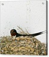 Barn Swallow Nesting Acrylic Print by Douglas Barnett