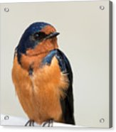 Barn Swallow Perched On A Fence Acrylic Print