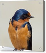 Barn Swallow Perched On A Fence Watching Acrylic Print
