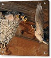 Barn Swallows At Nest Acrylic Print by Scott  Linstead