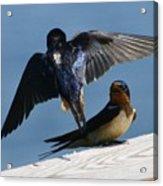 Barn Swallows Acrylic Print