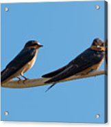 Barn Swallows  Acrylic Print