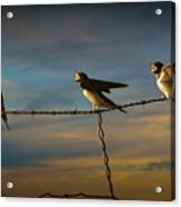 Barn Swallows On Barbwire Fence Acrylic Print