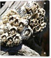 Barnicles And Wood Acrylic Print