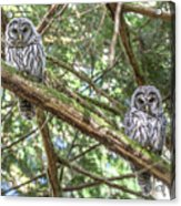 Barred Owl Fledglings Acrylic Print