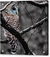 Barred Owl Hungry  Acrylic Print