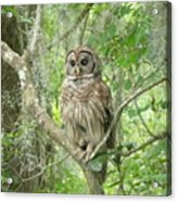 Barred Owl I Acrylic Print