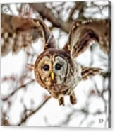 Barred Owl In Flight 4830 Acrylic Print