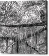 Barred Owl In Monochrome Acrylic Print