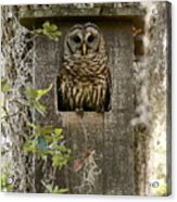 Barred Owl In Nest Box Acrylic Print