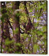 Barred Owl In The Forest Acrylic Print