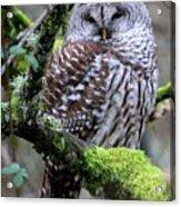 Barred Owl In Tree Acrylic Print