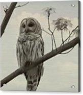 Barred Owl On A Tree Acrylic Print