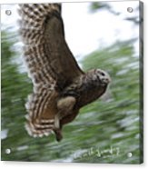 Barred Owl Taking Flight Acrylic Print