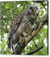Barred Owl With A Snack Acrylic Print