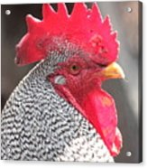Barred Rock Rooster Acrylic Print