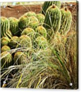 Barrel Cacti Acrylic Print