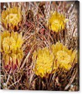 Barrel Cactus Flowers 2 Acrylic Print