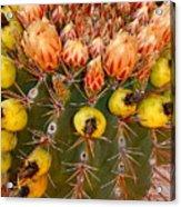Barrel Cactus Acrylic Print