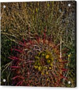 Barrel Cactus Top View Acrylic Print