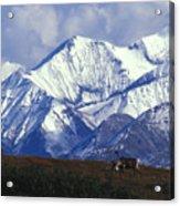 Barren-ground Caribou Rangifer Tarandus Acrylic Print by Nick Norman