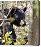 Bashful Black Bear Acrylic Print