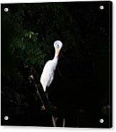 Bashful Egret Acrylic Print