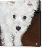 Bashful Puppy Acrylic Print