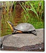 Basking Blanding's Turtle Acrylic Print