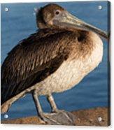 Basking Pelican Acrylic Print