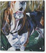 Basset Hound In Wheat Acrylic Print