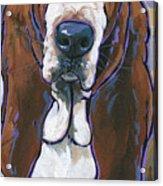 Basset Hound Acrylic Print