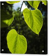 Basswood Leaves Against Dark Forest Background Acrylic Print