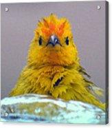 Bath Time Finch Acrylic Print