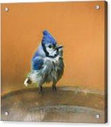 Bathing Blue Jay Acrylic Print