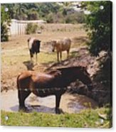 Bathing Horse Acrylic Print