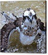 Bathing Osprey Bird Splashing About Acrylic Print