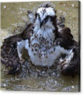 Bathing Osprey In Shallow Water Acrylic Print