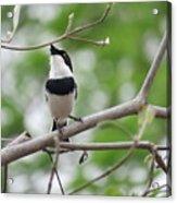 Batis Bird Acrylic Print