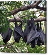 Bats Hanging Out Acrylic Print