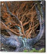 Battered Cypress With Orange Alga Acrylic Print